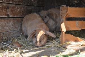 Eichmannhof: agriturismo Marlengo. Conigli