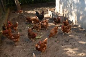 Eichmannhof Marling: Hennen und Hahn