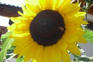 Eichmannhof: Sonnenblume
