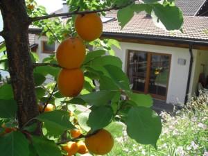 Eichmannhof: Aprikosen