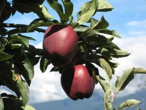 Eichmannhof: Äpfel