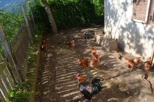 Hennen, Hahn und Truthenne