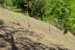 Mai 2016: neue Marlillenbäume wurden gesetzt