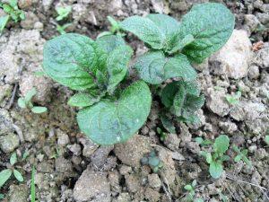 Mitte Mai sind die Kartoffeln schon ausgetrieben.