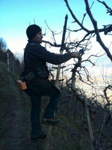 Schneiden der Apfelbäume
